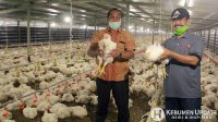 H Khayub Muhammad Lutfhi bersama H Adi Pandoyo menunjukkan ayam siap panen. (Foto: Padmo-KebumenUpdate)