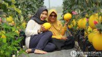 Golden melon di Malika Farm Kebumen siap panen. (Foto: Padmo-KebumenUpdate)